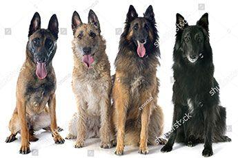 Gros plan sur quatre races de chiens belges